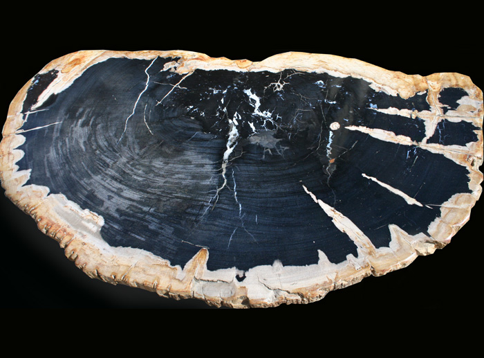 Enormous Petrified Wood slice